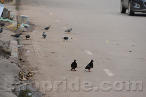 Pigeons at the roadside on Lane Xang Avenue in Vientiane, Laos